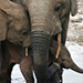 news-imageForest Elephant family
