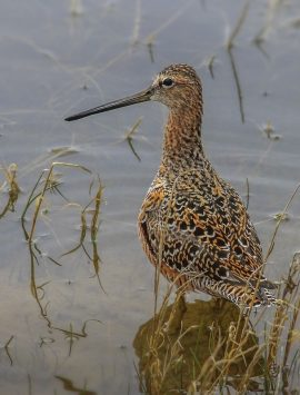 news-imageLong-billed Dowitcher
