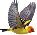 news-imageWestern Tanager